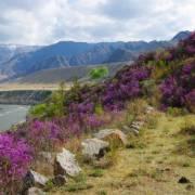 Когда цветет багульник - Алтай Фото, автор: VVVnsk