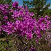 Багульник в цвету - Алтай Фото, автор: Джазатор